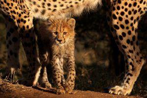 Una cría de guepardo