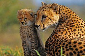 Los guepardos poseen unas finas marcas negras que recorren su rostro como si de lágrimas se tratase