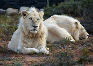 Lions blancs dans la réserve de Sambona