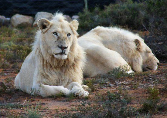 Two white lions in Sanvona Wildlife Reserve in Rhino Africa's Complete Guide