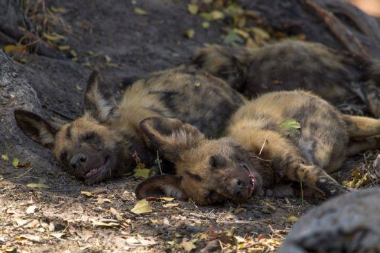 Two African Wild Dogs sleeping on the ground