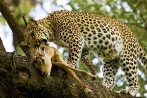 Un leopardo devorando su presa en lo alto de un árbol