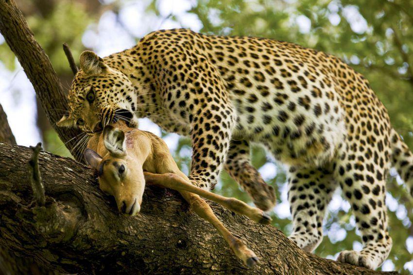 guepardo y leopardo   ¿cuáles son las diferencias?