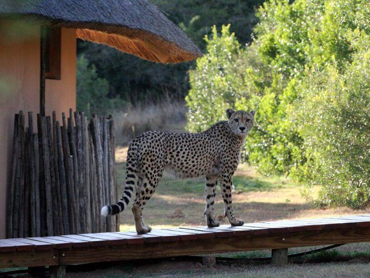 Guépard visitant un lodge de la réserve d'Amakhala en Afrique du Sud.