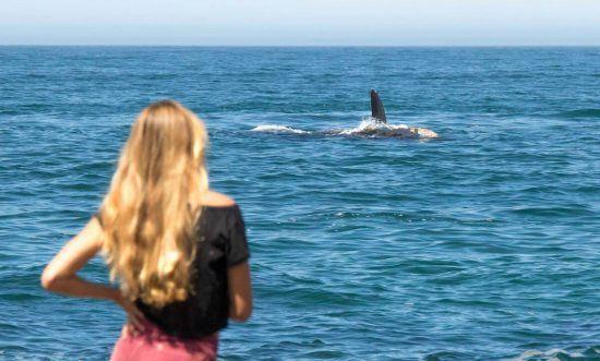 Observation des baleines depuis les côtes d'Hermanus en Afrique du Sud.