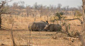 Rhinocéros blancs au Mosi-oa-Tunya National Park, Zambie, à proximité des Chutes Victoria