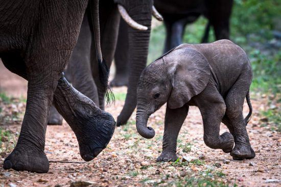 éléphanteau dans le diaporama des bébés animaux