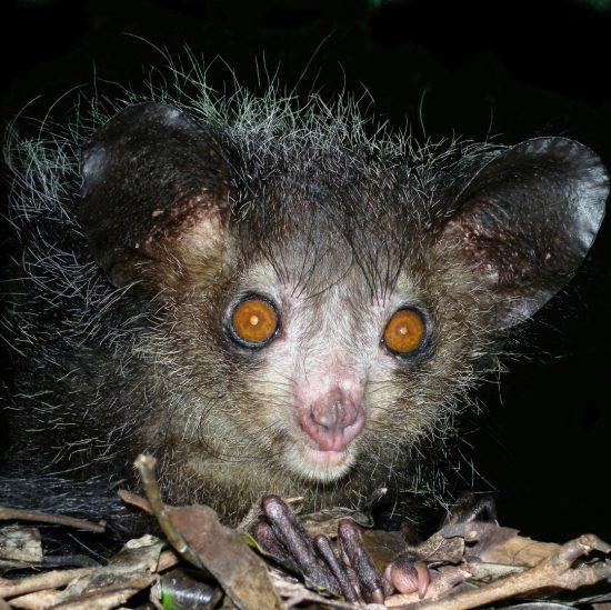 Große Orange Augen eines Ace Ace Lemurs