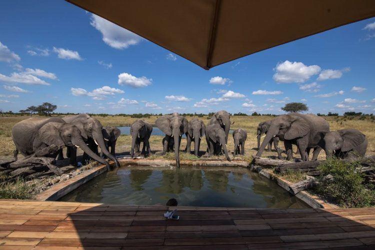 Un troupeau d'éléphants buvant l'eau de la piscine à Somalisa Camp au Zimbabwe.