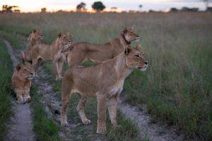 Löwen in einer Graslandschaft in Sambia