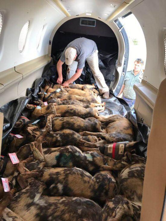 15 Afrikanische Wildhunde werden in einem Flugzeug in ihr neues Zuhause transportiert