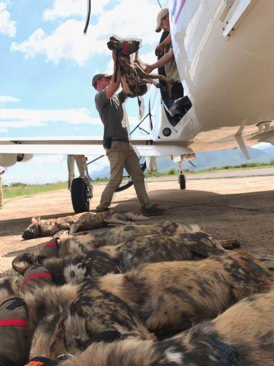 En Avril dernier, Wildlife ACT a réintroduit une meute de chiens sauvages au Mozambique.