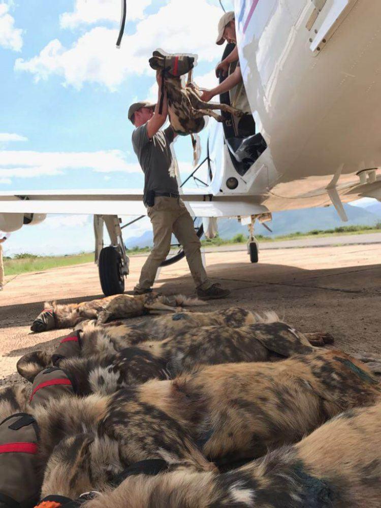 Opération de sauvetage des chiens sauvages d'Afrique au Mozambique.