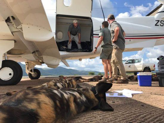 Naturschützer bereiten 15 Afrikanische Wildhunde auf ihren Flug in den Gorongosa Nationalpark in Mosambik vor