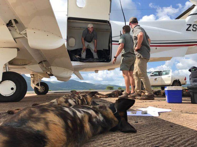 Opération de sauvetage des chiens sauvages d'Afrique au Mozambique par Wildlife ACT