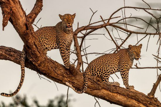 Leopards are abundant in South Africa's Lowveld region and wildernesses such as the Kruger National Park and Private Game Reserves