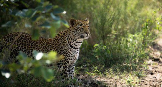Ein Leopard guckt aus dem grünen Busch im Sabi Sand Game Reserve
