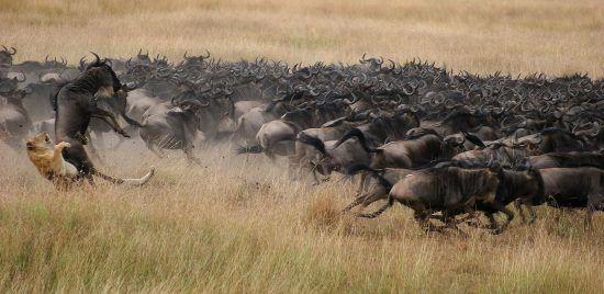 Löwin jagt Gnus bei in Ostafrika