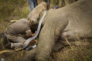 Artenschutz des Afrikanischen Elefantens bei Wildlife Act