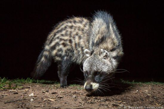 An African Civet in South Luangwa National Park, Zambia