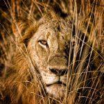 Nahaufnahme eines Löwens, der sich im hohen Gras versteckt
