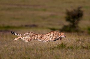Guépard en plein sprint en Tanzanie