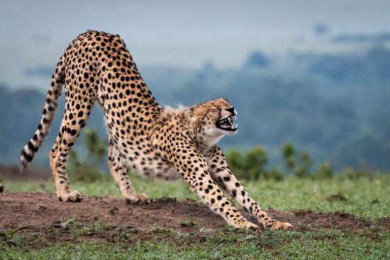 Ein Gepard streckt sich und gähnt dabei