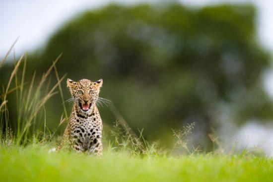 Kleines Leopardenjunges sitzt im grünen Gras und faucht