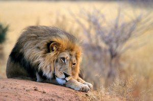 Un león se relaja en la sabana