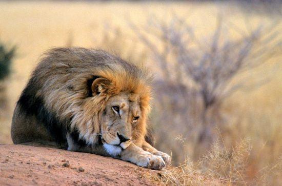 Ein männlicher Löwe ruht sich mitten in der Steppe aus