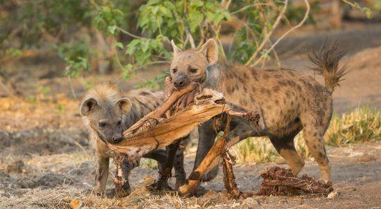 Baby hyenas and an impala skin