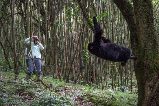 Consigue fotografiar gorilas y chimpancés en Uganda