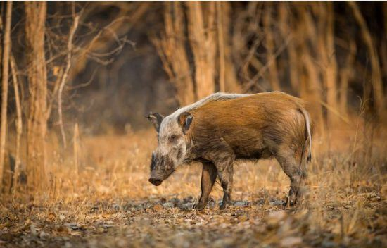 A bush pig stands in the morning light