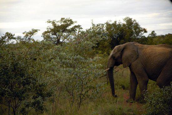 Elefante é visto durante safári na Reserva Welgevonden