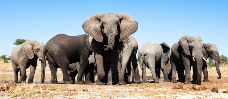 Herd of elephant in Botswana