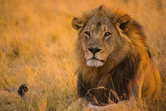 """El """"rey de los animales"""" posando para la cámara"""