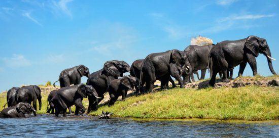Manada de elefantes saliendo del agua en el Parque Nacional Chobe