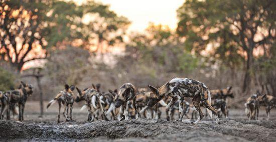 Wild dogs sunrise