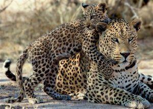 Ein ausgewachsener Leopard und sein Jungs spielen