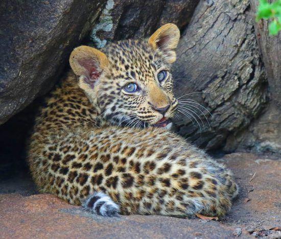 Ein Babyleopard liegt eingerollt unter einem Baum