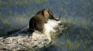 El delta del Okavango, en Botsuana, es hogar de grandes manadas de elefantes