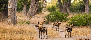 Un grupo de perros salvajes africanos en la reserva de animales Moremi, en Botsuana