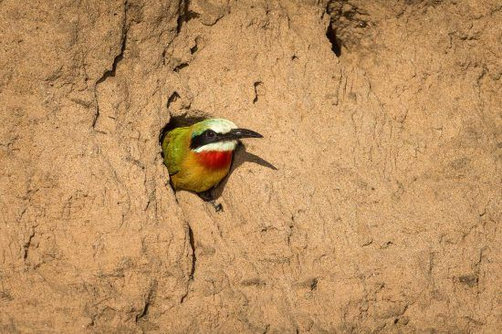 Bee-eater in sand bank