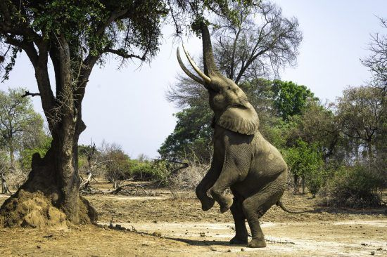 Elephant on its back legs