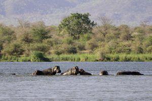 Hippopotames dans le Zambèze, près des Chutes Victoria