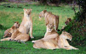 Lionne se prélassant sur l'herbe au Serengeti, Tanzanie