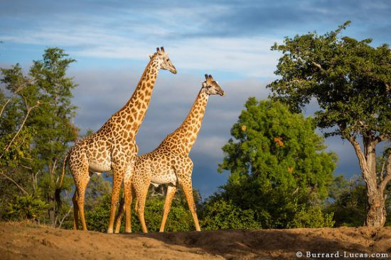 Thornicoft giraffe, South Luangwa National Park, Zambia