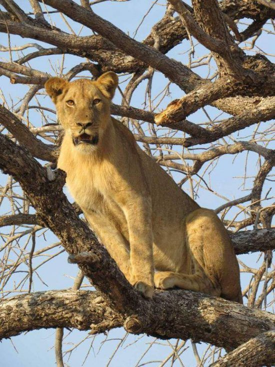 A lioness in a tree at South Luangwa National Park