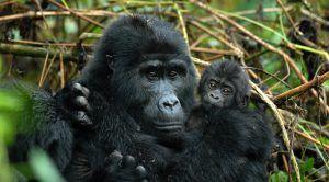 Explora la selva ugandesa para contemplar a los majestiosos gorilas de montaña en tu luna de miel