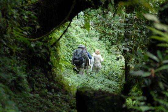Reisende wandern beim Gorilla-Trekking durch den Volcanoes Nationalpark